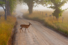 A Deer Crosses A Dirt Road Bet...