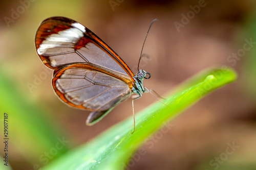 Glasswing Butterfly (Greta oto) in a summer garden