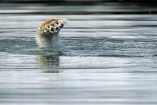 Polar Bear Foot In Water