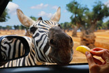 Zebra eats apple out of hand