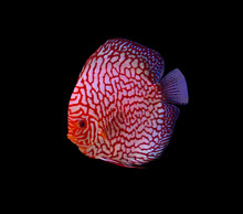 Checker Board Discus Fish On B...