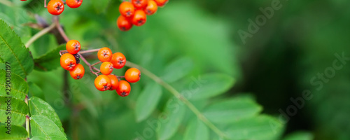 Mountain rowan ash branch berries on blurred green background Canvas Print