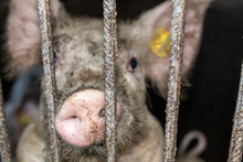 Closeup Of Cute Yorkshire Pigl...