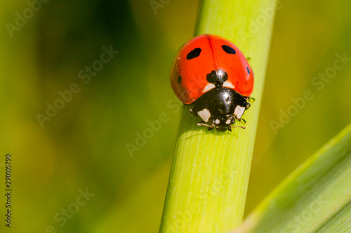 little red lady bug on green summer meadow Poster Mural XXL