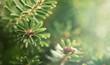Leinwanddruck Bild Beautiful green fir tree branches close up. Christmas and winter concept.