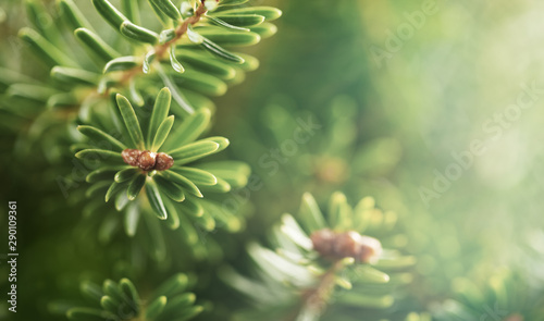 Photo sur Aluminium Arbre Beautiful green fir tree branches close up. Christmas and winter concept.