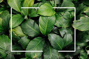 Frame tropical leaf texture green leaves Background, foliage nature