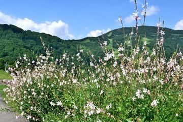 夏の湯沢高原 ハクチョウソウ