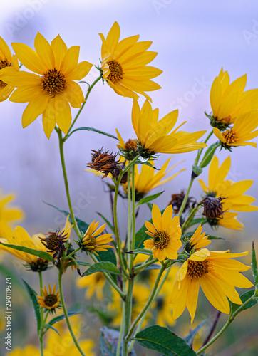 Photo 644-57 Ashy Sunflowers
