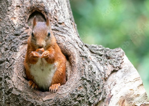 Fotomural  Eurasian red squirrel (Sciurus vulgaris) looks outside a hollow on a tree in the forest of Drunen, Noord Brabant in the Netherlands