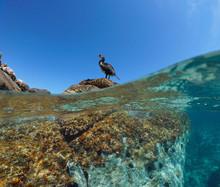 A Cormorant Bird On A Rock, Split View Above And Below Water Surface, Mediterranean Sea, Spain, Balearic Islands, Ibiza