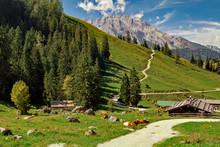 Germany, Bavaria: Alpine Cows ...