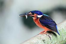 Male Common Kingfisher (Alcedo...