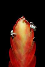 Amazon Milk Frog (Trachycephalus Resinifictrix) On A Flower Bud, Indonesia