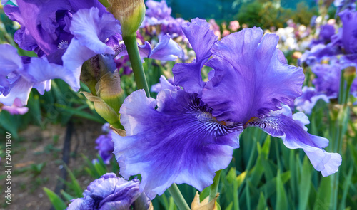 Blue pink iris flowers close up in green botanical garden