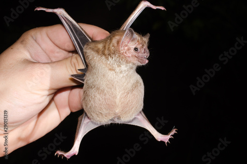 Photo The common vampire bat (Desmodus rotundus) is a small, leaf-nosed bat native to the Americas