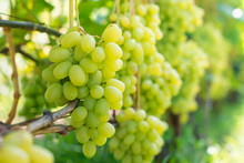 Bunch Of White Grapes Close-up...