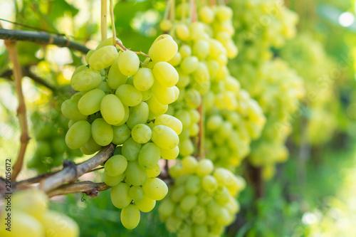 Fotografie, Tablou bunch of white grapes close-up macro