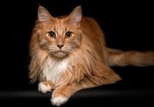 Portrait Of A Maine Coon Cat