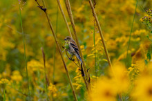Female Goldfinch In Prairie Grass 2