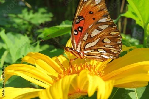 Beautiful butterfly on heliopsis flower