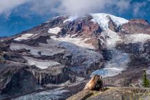 Yellow-bellied Marmot Warming Up On A Rock, Mt Rainier NP