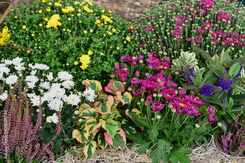Poster Pays d Asie Autumn flowers. Garden with flowers and plants, chrysanthemum, red grass, heather.
