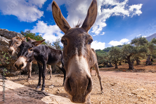 Foto auf Leinwand Esel Majorka
