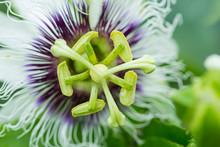Passion Flower (Passiflora Inc...