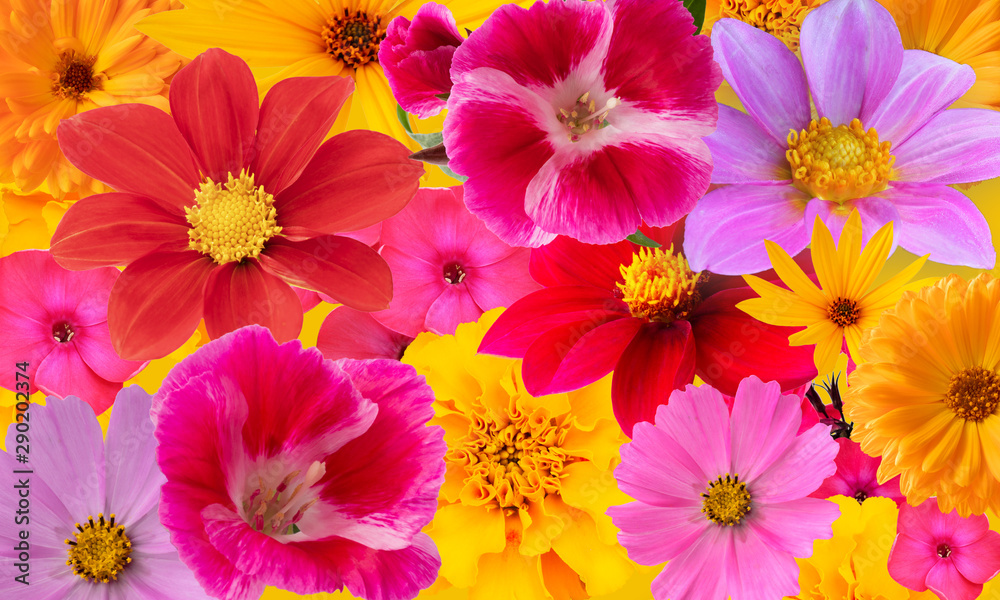 Fototapety, obrazy: Background from bright multi-colored autumn flowers. Collage