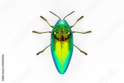 Photographie Jewel beetle (Sternocera aequisignata, Metallic wood-boring beetle, Buprestid, Buprestidae) top view isolated on white background