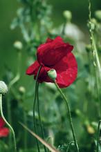 Red Spring Poppy