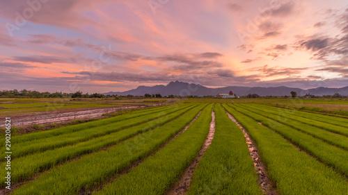 Stampa su Tela Scenery rice paddy field with dramatic sky