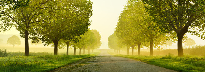 Avenue of Linden Trees touched by the morning sun, Tree Lined Road through beautiful green Spring Landscape