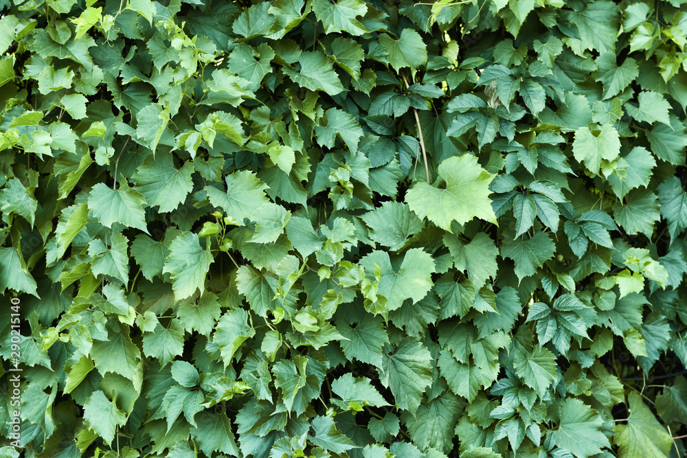 Fototapety, obrazy: Growing plant with green leaves