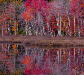Obraz na Szkle Las Beautiful view of the autumn lake. Reflection of red, orange yellow trees in the calm smooth surface of the lake. A riot of autumn colors. Acadia National Park. USA. Maine