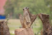 Meerkat Guard Watch Keep An Eye Out Supervisor