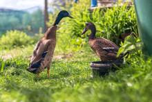 Indian Runner Duck - Couple Of...