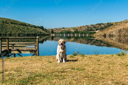 Fotografie, Tablou  Retrato de un perro Labrador en un embalse