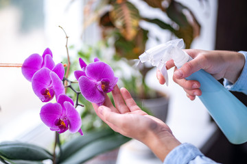 Woman sprays plants in flower pots. Housewife taking care of home plants at her home, spraying orchid flower with pure water from a spray bottle
