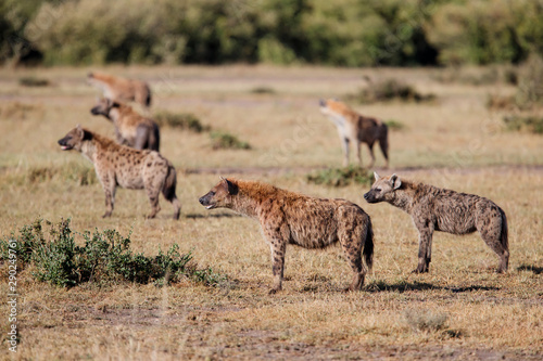 Fototapeta hyenas on a mission to take over a carcass from the lions in the Masai Mara Game