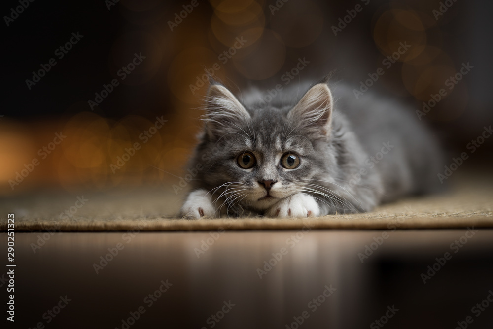 Fototapety, obrazy: playful tabby blue maine coon kitten lurking on a sisal carpet with christmas light string bokeh in the background