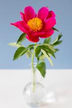 Flower In Vase On Blue Background