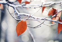 Yellow Last Leaf On A Branch In The Forest Covered With Ice And Snow. Autumn Transport To Winter. Cooling.