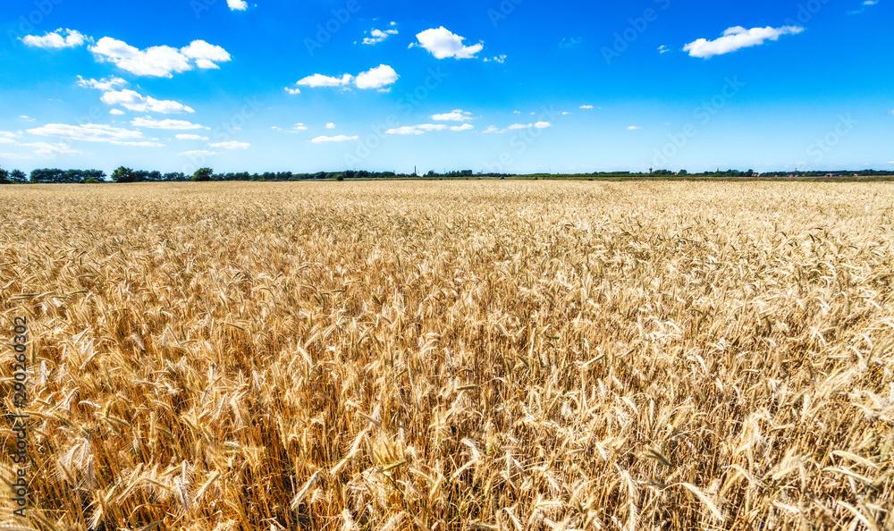 Fototapety, obrazy: golden wheat field