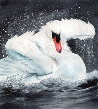 Watercolor Picture Of A  Beautiful White Swan In Black Lake With Splashes Of Water