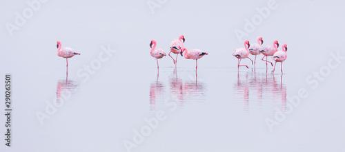 Aluminium Prints Flamingo Flamingos, Salinas, Walvis Bay, Namibia, Africa
