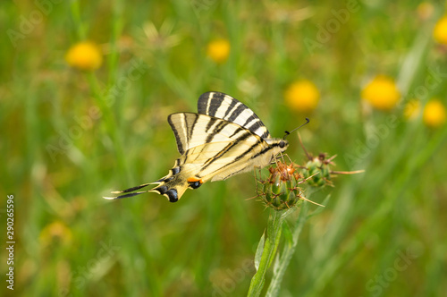 Podalirius butterfly sitting on a burdock Canvas-taulu