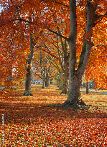Autumn. Gold Trees in a park - 290267194