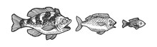 Three Fish Chasing Each Other And Trying To Eat Swallow Sketch Engraving Vector Illustration. Tee Shirt Apparel Print Design. Scratch Board Style Imitation. Black And White Hand Drawn Image.